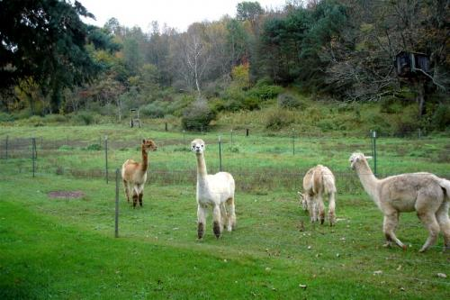 Oxford, New York - The llamas hamming it up